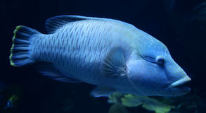 Humphead maori wrasse. Swimming aquarium royalty free stock images