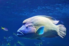Humphead Maori Wrasse. Swimming near the Great Barrier Reef in Australia Royalty Free Stock Image