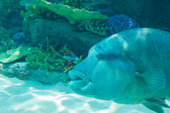 Humphead Maori Wrasse swimming near the Reef underwater. Royalty Free Stock Photography