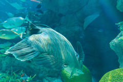 Humphead Maori Wrasse swimming near the Reef underwater. Stock Image