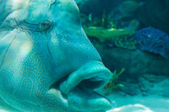 Humphead Maori Wrasse swimming near the Reef underwater. Royalty Free Stock Images