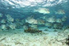 Humphead parrotfish Royaltyfri Bild