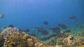Humphead parrotfish. The largest of all parrotfish, the humphead parrotfish Bolbometopon muricatum is an olive or blue-green to slate-grey fish, with a yellowish stock video