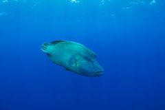 Humphead wrasse Stock Photos