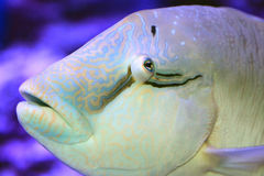 Humphead wrasse Stock Photography