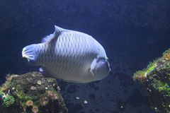 Humphead wrasse Stock Photo