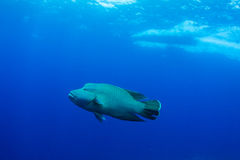 Humphead wrasse with boat Stock Images