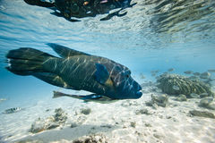 Humphead wrasse Cheilinus undulatus Stock Photography