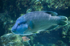 Humphead wrasse Cheilinus undulatus. Royalty Free Stock Photography