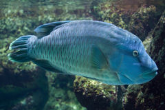 Humphead wrasse Cheilinus undulatus. Royalty Free Stock Photo