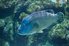Humphead wrasse Cheilinus undulatus. Stock Photos