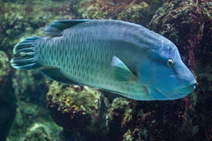 Humphead wrasse Cheilinus undulatus. Royalty Free Stock Photos