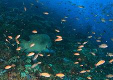 Humphead wrasse Stock Image