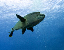 Humphead wrasse. Cheilinus undulatus, Napoleon Fish Stock Photo