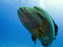 Humphead wrasse. Cheilinus undulatus, Napoleon Fish Royalty Free Stock Photography