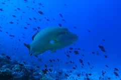 Humphead wrasse fish Royalty Free Stock Images