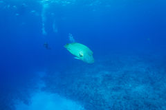 Humphead wrasse with scuba diver Royalty Free Stock Image