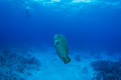 Humphead wrasse with scuba diver Stock Photos