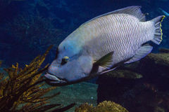 Humphead wrasse royalty free stock photos