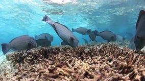 Humpheadpapegaaivissen stock videobeelden