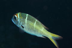 Humpnose Bigeye Bream Royalty Free Stock Photos