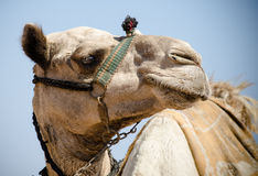 Humpy. Close up of Camel in Egypt Royalty Free Stock Photos