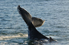 HUMPY TAIL. A Humpback whale seen in Walker Bay,  Hermanus, South Africa Stock Images