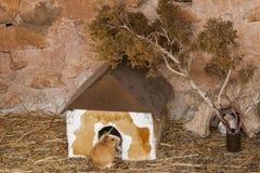 Humster multicolore in una casa Fotografie Stock
