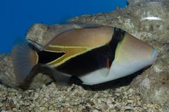Humu Rectangle Triggerfish. Considered to be Hawaii`s state fish, the Humu Rectangle Triggerfish, also known as the Rectangular Triggerfish, Wedge-tailed Trigger Royalty Free Stock Image