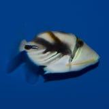 Humu Humu Triggerfish Royaltyfri Fotografi