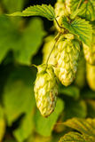 Humulus Royalty Free Stock Photos