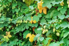 The Humulus fruit on the branches, Humulus lupulus, the Hops are climbing royalty free stock photos