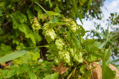 Humulus Royalty Free Stock Photography