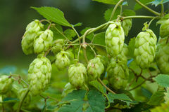 Humulus Stock Photography
