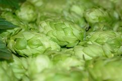 Humulus. Hop cones. Botanical humulus lupulus. Hop cones as a green background Royalty Free Stock Photos