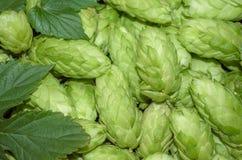 Humulus. Hop cones. Botanical humulus lupulus. Hop cones as a green background Stock Images