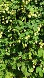 Humulus & luppolo Fotografie Stock Libere da Diritti