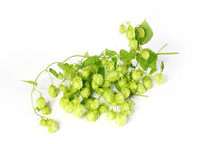 Humulus lupulus Royalty Free Stock Photo