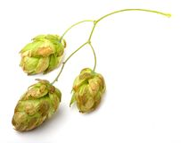 Humulus lupulus (Common hop) Royalty Free Stock Photos