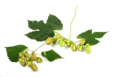 Humulus lupulus (Common hop) Stock Photography