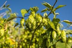 Humulus lupulus (common hop, hop) Royalty Free Stock Image