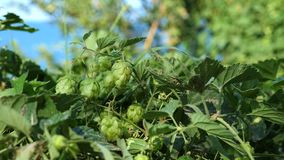 Hop plant. Humulus lupulus common hop or hops plant stock video footage