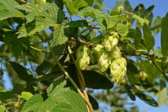 Humulus lupulus or common hop Royalty Free Stock Images