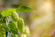 Humulus Lupulus Flowers, Also Called Hops Royalty Free Stock Photo