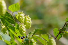 Humulus Lupulus Flowers, Also Called Hops Stock Images