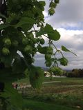 Humulus - pianta del luppolo Immagine Stock Libera da Diritti