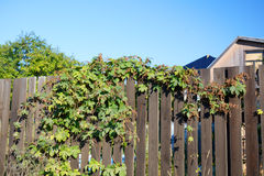 Humulus on the wooden fence Stock Photography