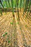 Humus de bambú del pajote del bosque Foto de archivo libre de regalías