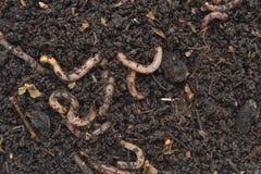 Humus door aardwormen Californiër wordt geproduceerd die stock afbeelding