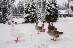 Hun landbouwbedrijven Ganzen in de sneeuw Landbouw royalty-vrije stock foto's